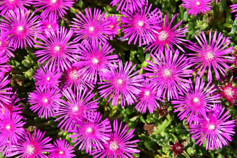 Ice Plant Delosperma cooperi pink flower field. Flower royalty free stock photography