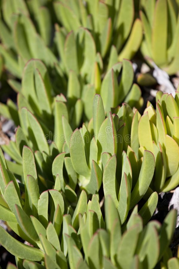 Ice Plant Hottentot Fig (Carpobrotus edulis). Carpobrotus edulis is a creeping, mat-forming succulent species and member of the Stone Plant family Aizoaceae, one royalty free stock photo