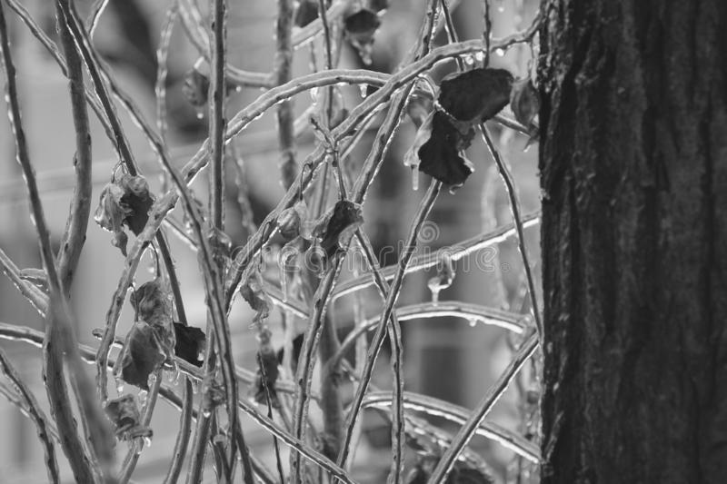 Ice rain frozen leaves. Iced rain frozen winter leaves lonely tree with cold branches royalty free stock image