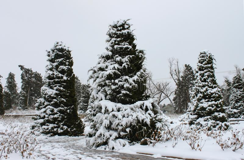 Ice and snow covered evergreen trees against a winter sky royalty free stock photography