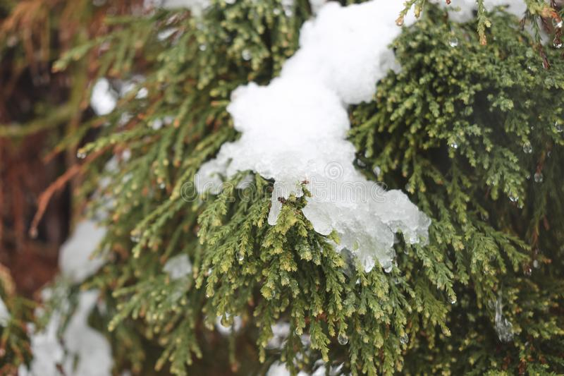 Ice and snow, pine tree stock photography
