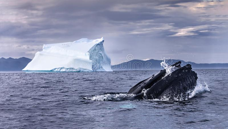 The Ice Whale. The rare capture of a feeding whale and iceberg together stock images