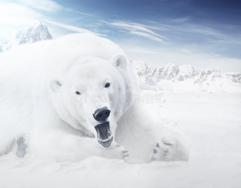 icebear στοκ φωτογραφία