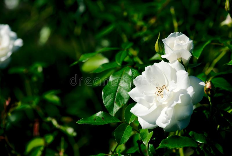 Iceberg Floribunda Rose Rosa Korbin flower plant bloom. On a nice sunny day in garden stock images