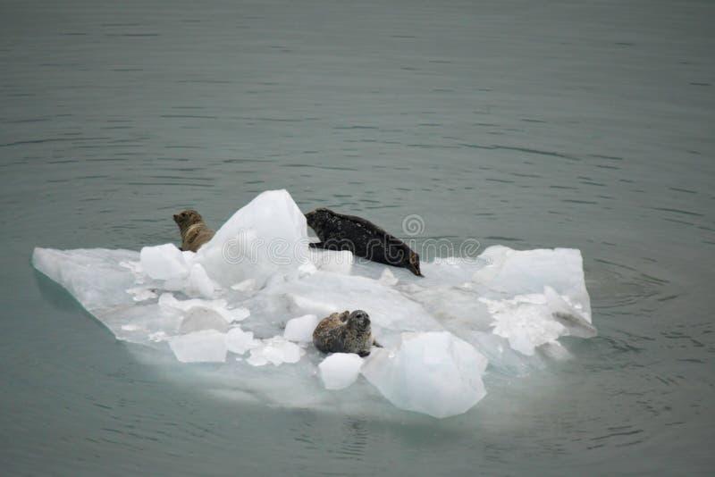 Iceberg with three sea lions stock photography