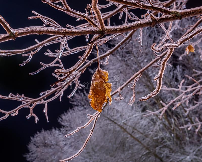 Iced branches of a tree and dry lisite covered with a crust of ice. royalty free stock image