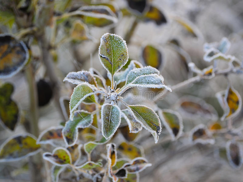 Iced Leaves. Green leaves with frost crystals in the early morning royalty free stock photo