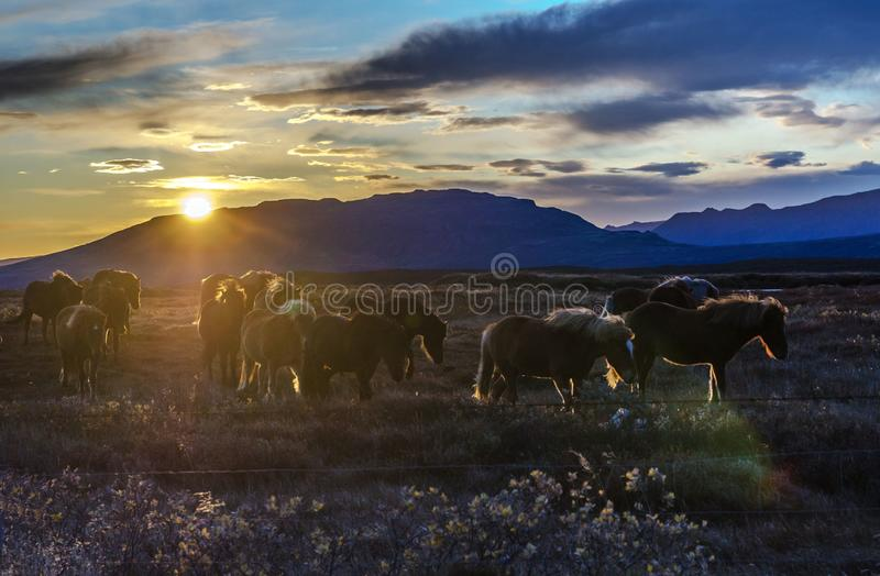 Iceland, autumn, sunset, Typical Icelandic scenery during sunset. horses at sunset. Iceland, autumn sunset, Typical icelandic landscape. Icelandic horses at royalty free stock photos