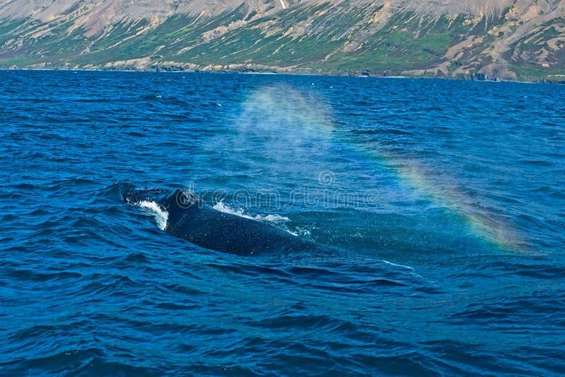 iceland dopatrywania wieloryb obrazy stock