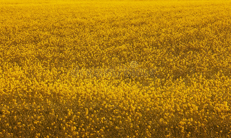 Iceland. Flowers and field. Warm tone. royalty free stock images