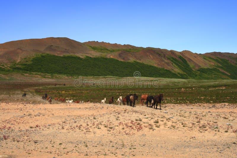 Iceland Horses Royalty Free Stock Image