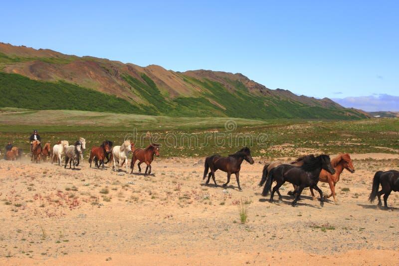 Download Iceland horses stock image. Image of trot, gaited, krafla - 11381943
