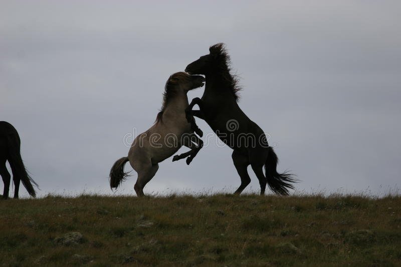 Download Iceland horses stock image. Image of leave, horses, strong - 13360775