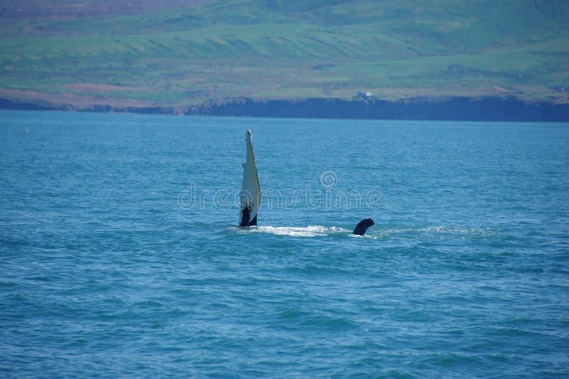 Iceland humpback wieloryb fotografia royalty free
