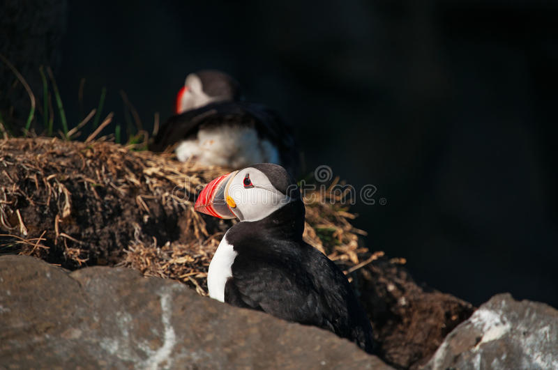 Iceland, Northern Europe, puffin, puffins, bird, birdwatching, Dyrholaey, nature reserve, climate change stock photos