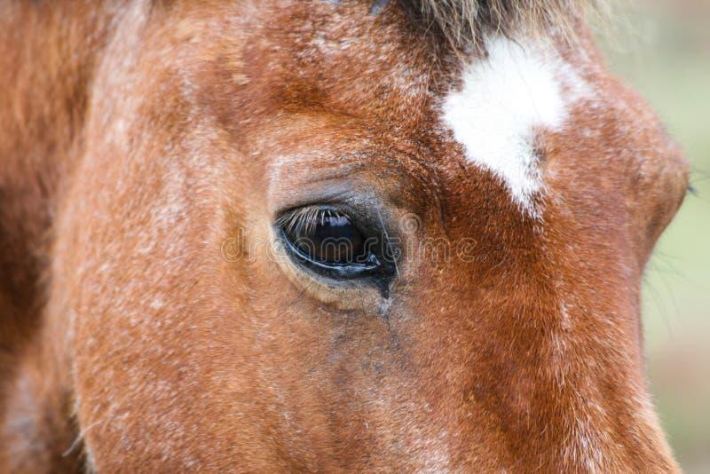 Iceland pony stock image