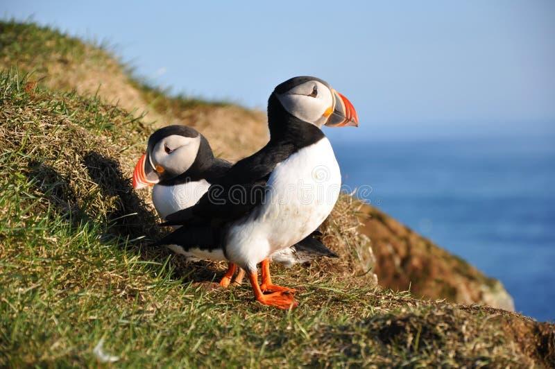 iceland puffins royaltyfria bilder