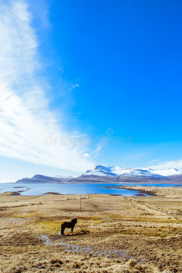 Iceland ` s krajobraz z Islandzkim koniem obraz royalty free