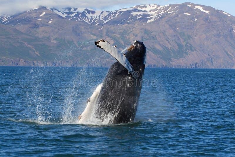 Iceland - whale show. Iceland, whale show near city Husavik