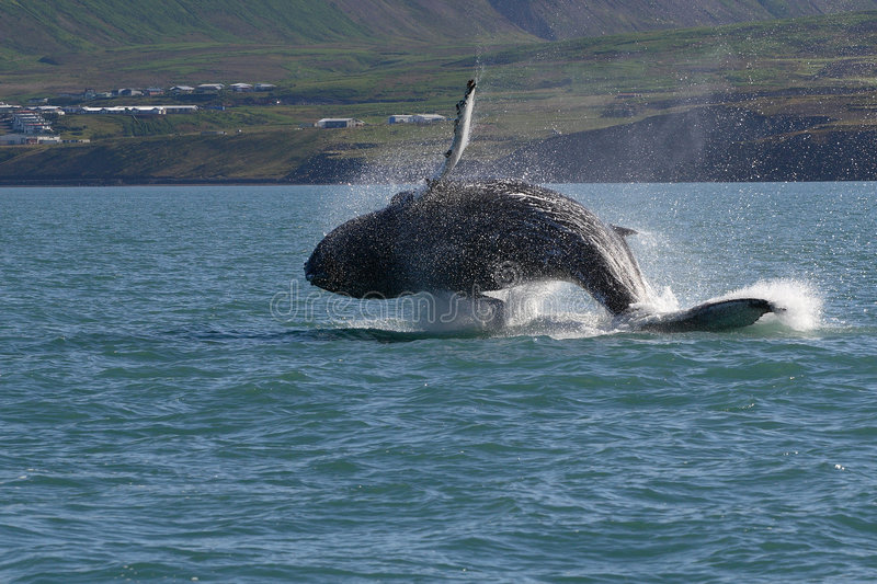 Iceland - whale show stock photography