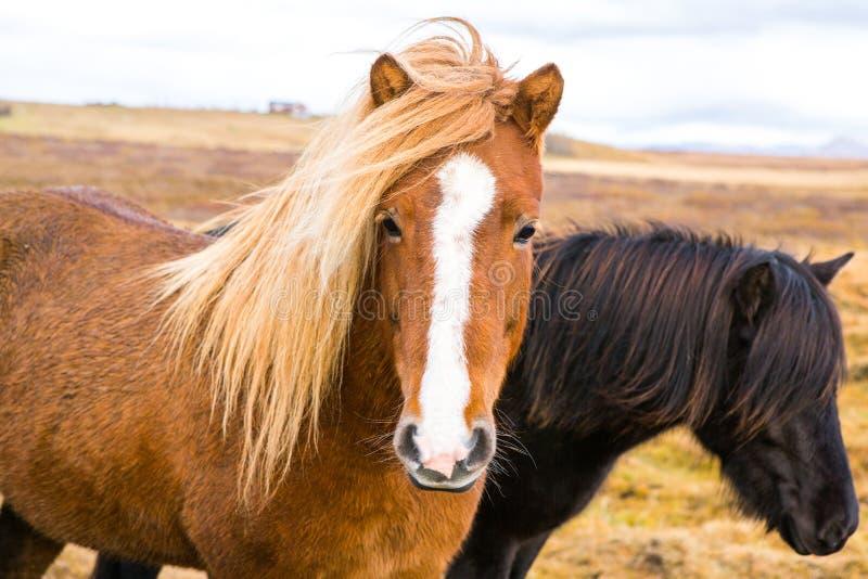 Icelandic лошади Красивые исландские лошади в Исландии Группа в составе исландские лошади стоя в поле с предпосылкой горы стоковая фотография