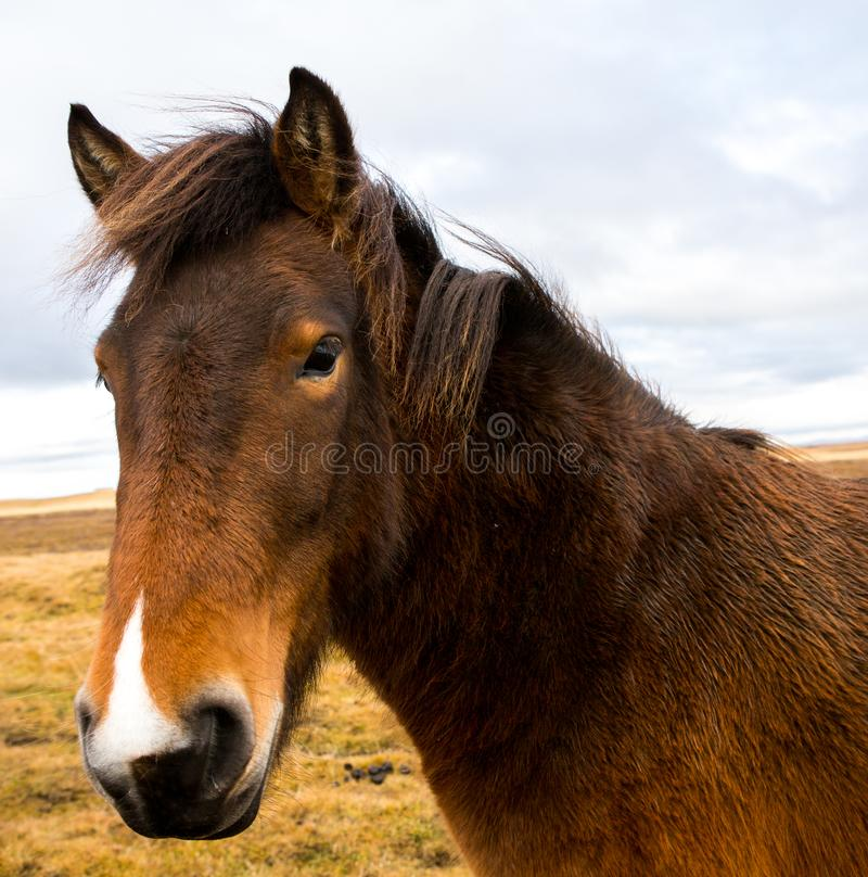 Icelandic лошади Красивые исландские лошади в Исландии Группа в составе исландские лошади стоя в поле с предпосылкой горы стоковые фото