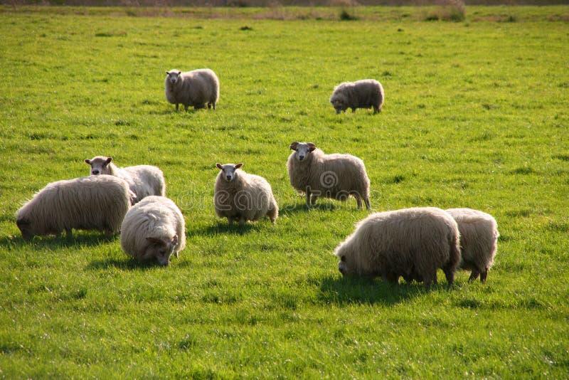 icelandic овцы стоковая фотография rf