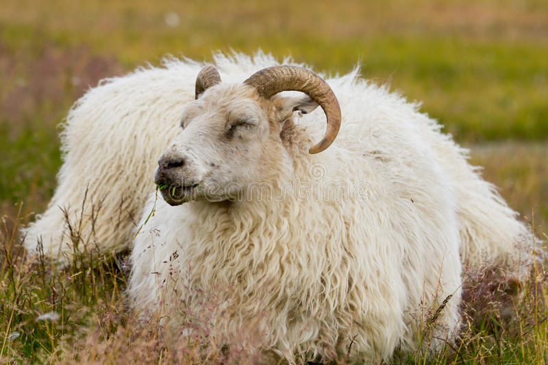 Icelandic овцы стоковое изображение rf