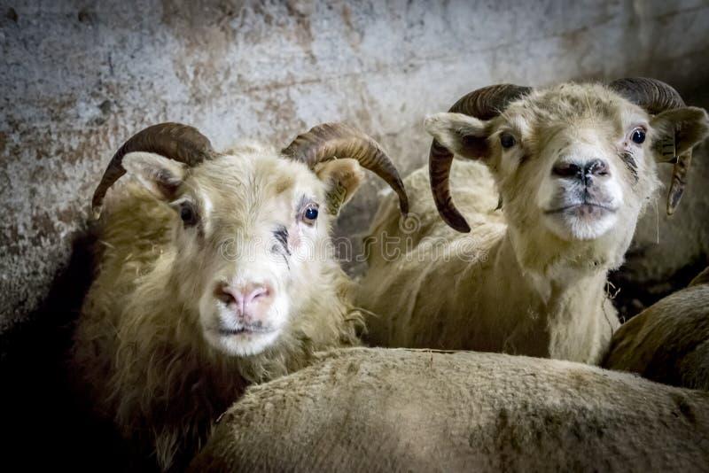 Icelandic овцы стоковые фото