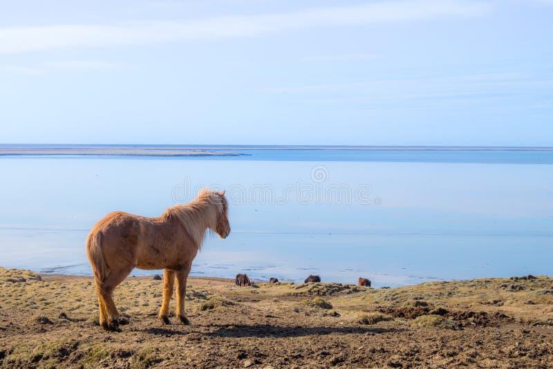 Icelandic лошадь стоковые изображения rf