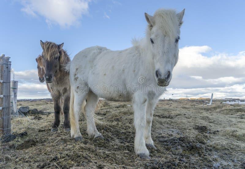 icelandic пониы стоковые фотографии rf