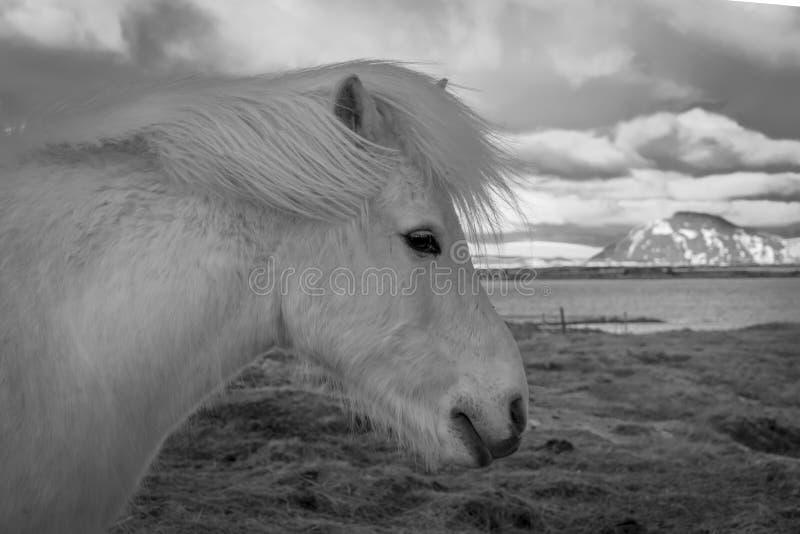icelandic пониы стоковое фото
