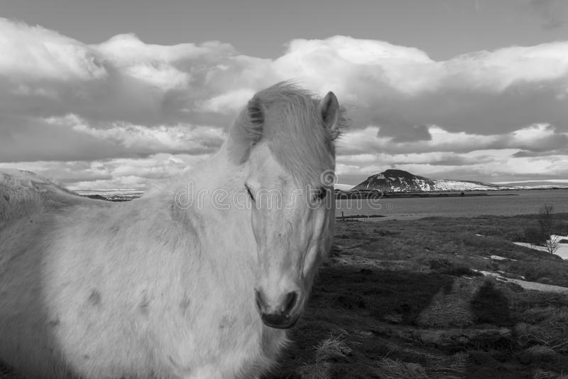 icelandic пониы стоковое изображение
