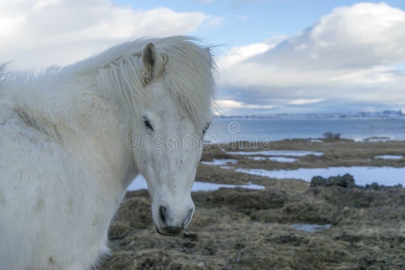 icelandic пониы стоковое фото rf