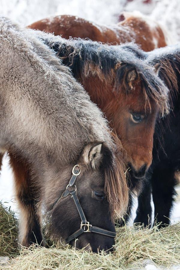 icelandic betande hästar royaltyfria foton