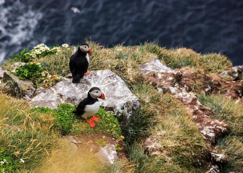 Icelandic couple puffins standing on the grass near their nests on the rocky cliff at Latrabjarg, Iceland, Europe.  royalty free stock images