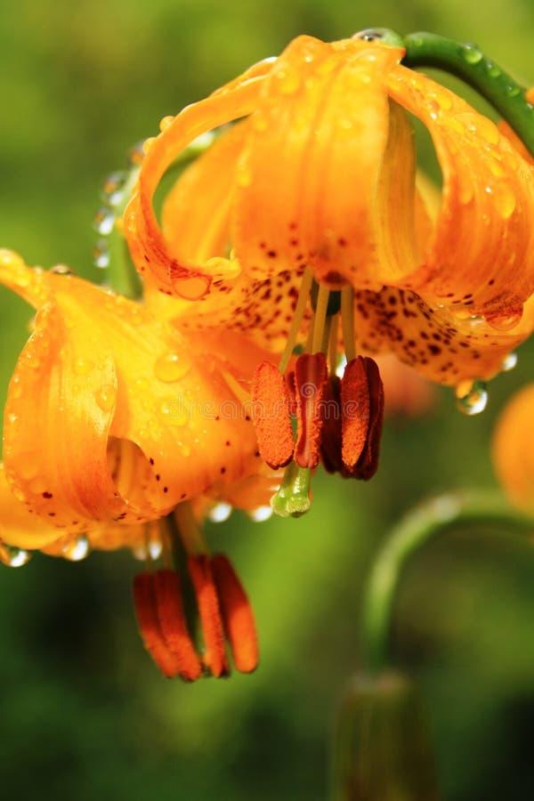 Icelandic flowers royalty free stock image