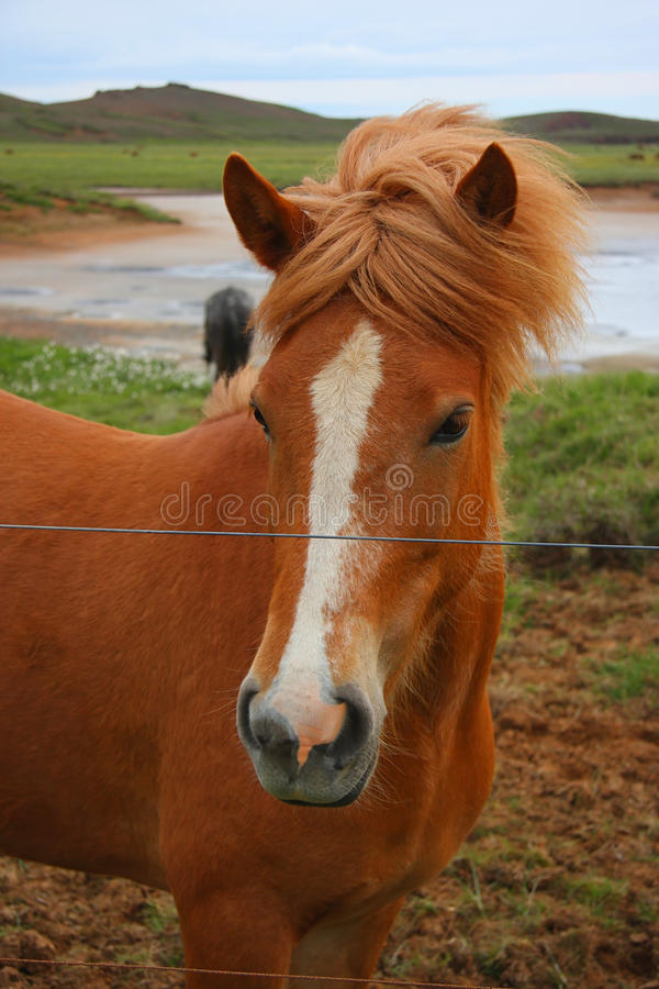 Download Icelandic horse stock photo. Image of equine, cute, north - 10433438