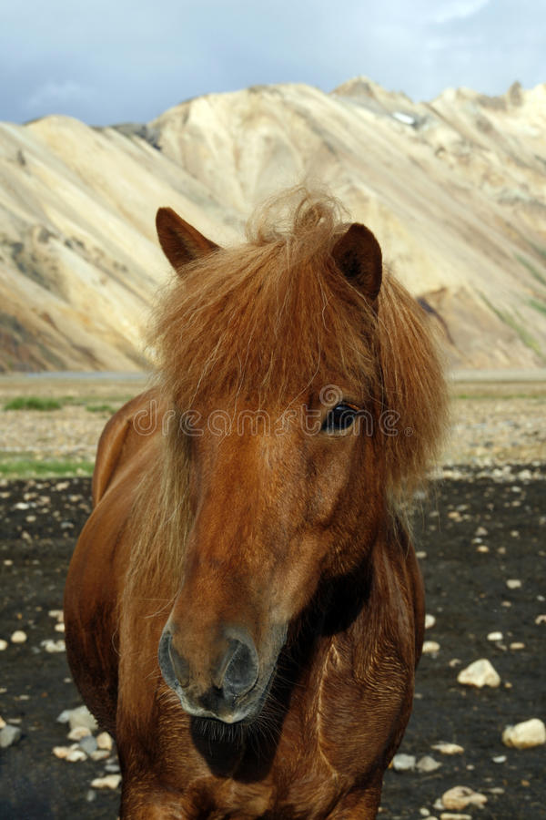 Free Icelandic Horse Royalty Free Stock Photos - 11349088
