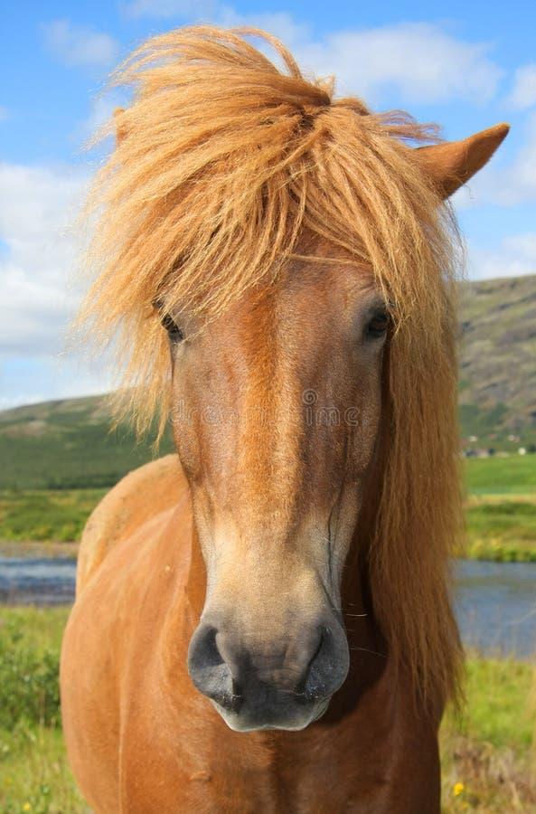 Free Icelandic Horse Stock Images - 13810634