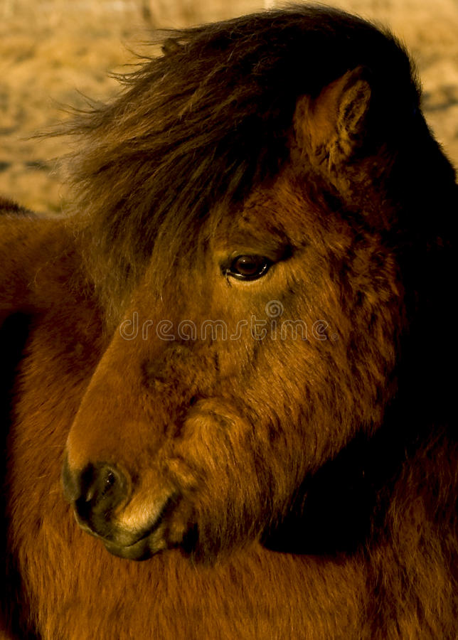 Download Icelandic horse stock image. Image of outside, grass - 17384571