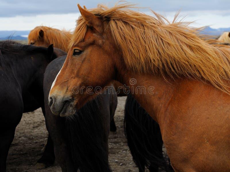 Download Icelandic Horse stock image. Image of gullfoss, europe - 22285935