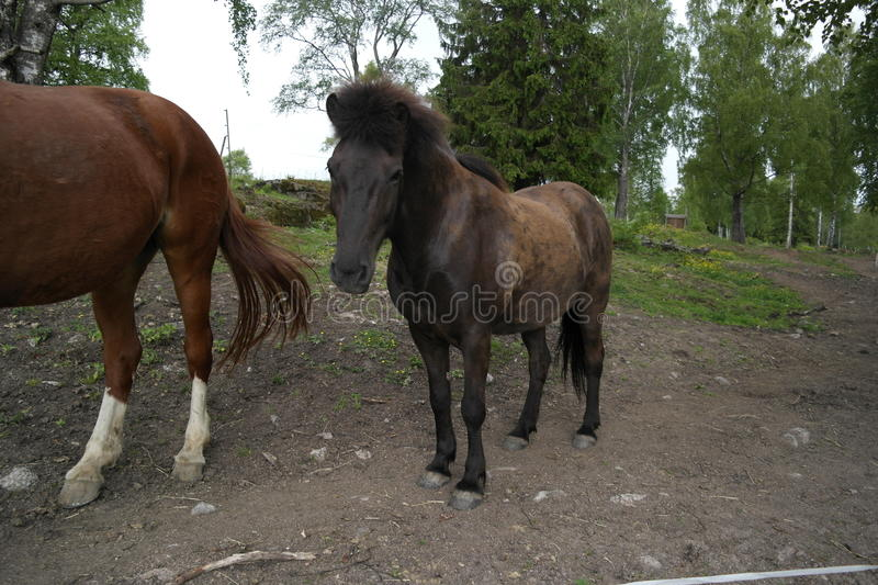 Download Icelandic horse stock image. Image of life, nice, agriculture - 30889849
