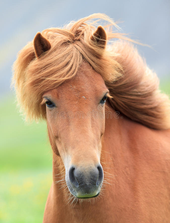 Free Icelandic Horse Royalty Free Stock Photo - 42548355