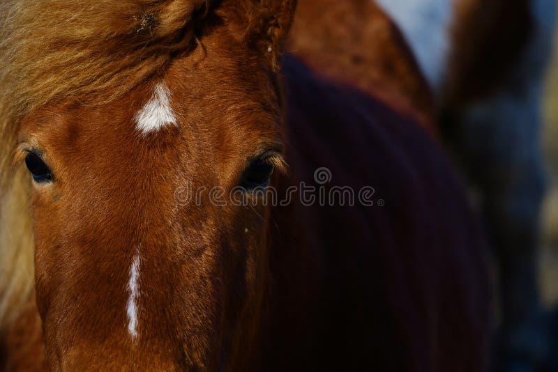 Icelandic horse close portrait. Lovely icelandic horse, purebred, close up portrait of that middle sized horse breed royalty free stock photos