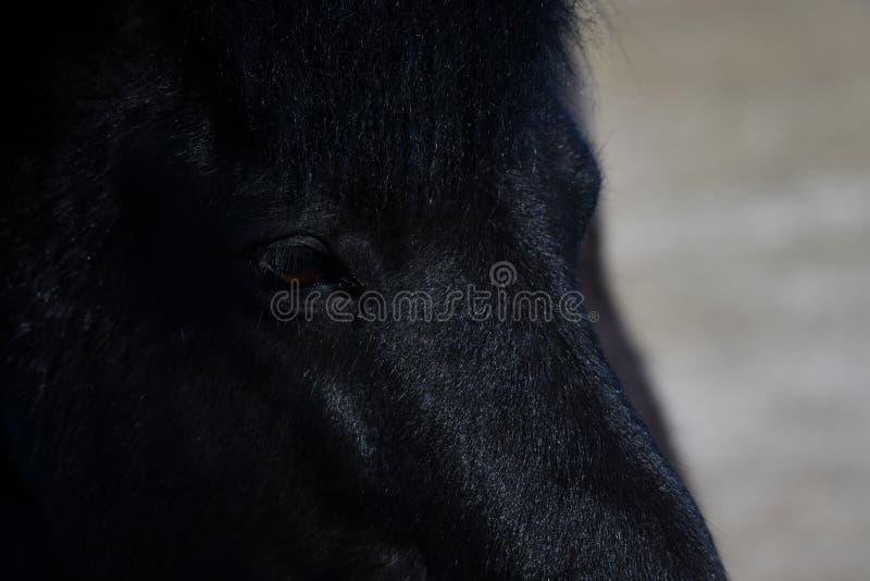 Icelandic horse close portrait. Lovely icelandic horse, purebred, close up portrait of that middle sized horse breed stock photos