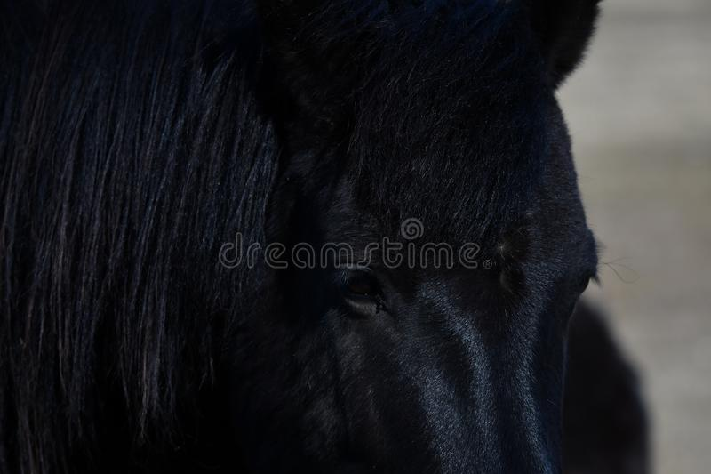 Icelandic horse close portrait. Lovely icelandic horse, purebred, close up portrait of that middle sized horse breed royalty free stock photography