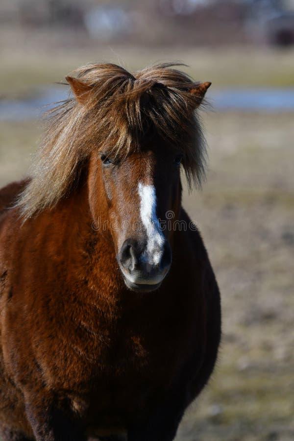 Icelandic horse close portrait. Lovely icelandic horse, purebred, close up portrait of that middle sized horse breed stock images