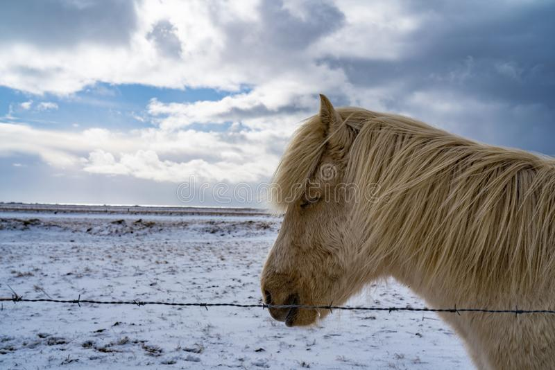 Icelandic horse close up face royalty free stock photo