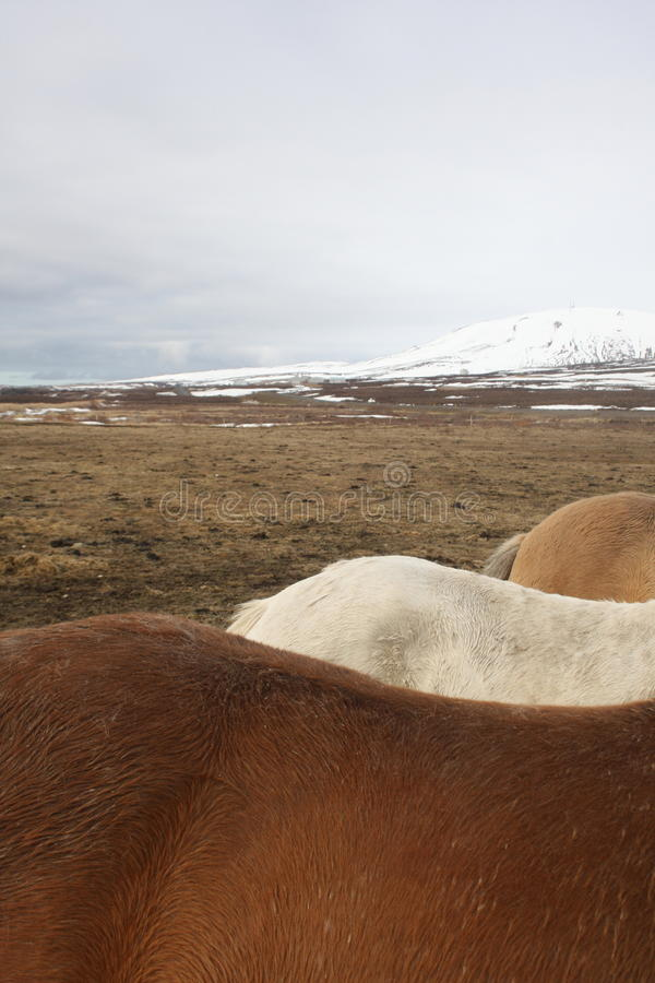 Icelandic Horse Colours Stock Photo